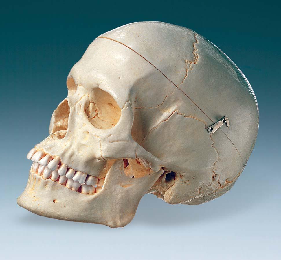 3d female human skull  |Female Human Skull