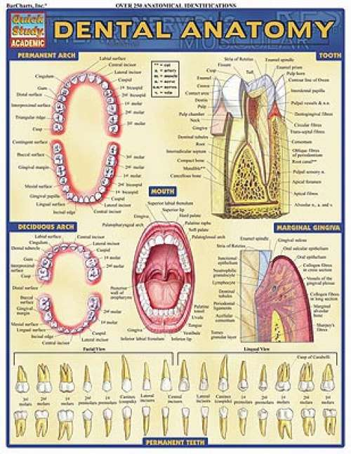 Quick Study Guides: Dental Anatomy