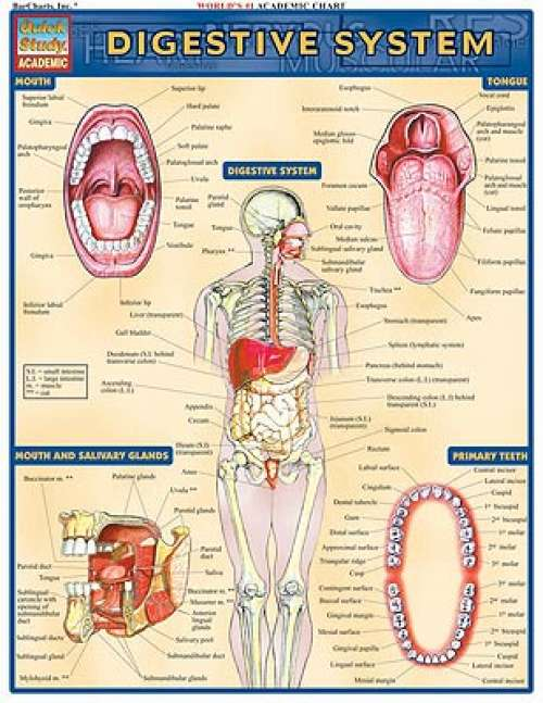 Quick Study Guides: Digestive System