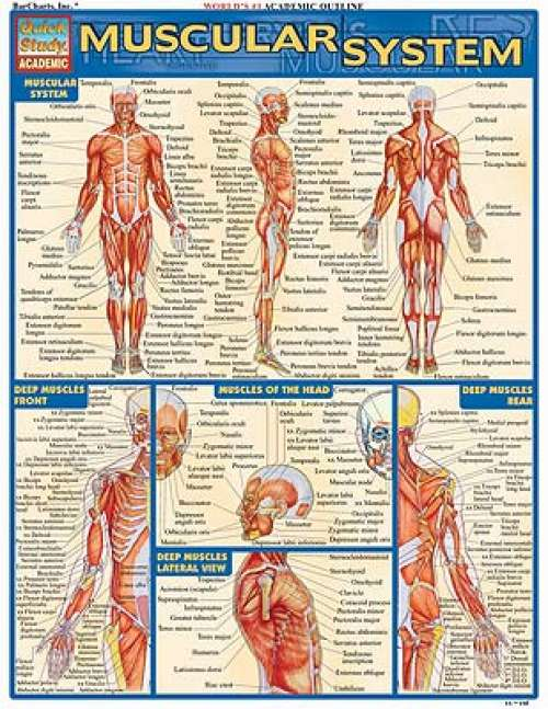 Quick Study Guides: Muscular System